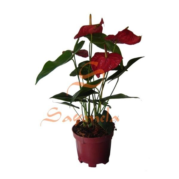Arreglo compuesto por:        Anturio Flor Roja      Base plástica      Cinta según color