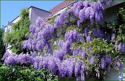 Wisteria sinensis & amethyst falls - Blauweregen  bloeit april-juni  zon, half schaduw  mest in voor en najaar  snoeien direct na de bloei,  hoofdranken laten staan