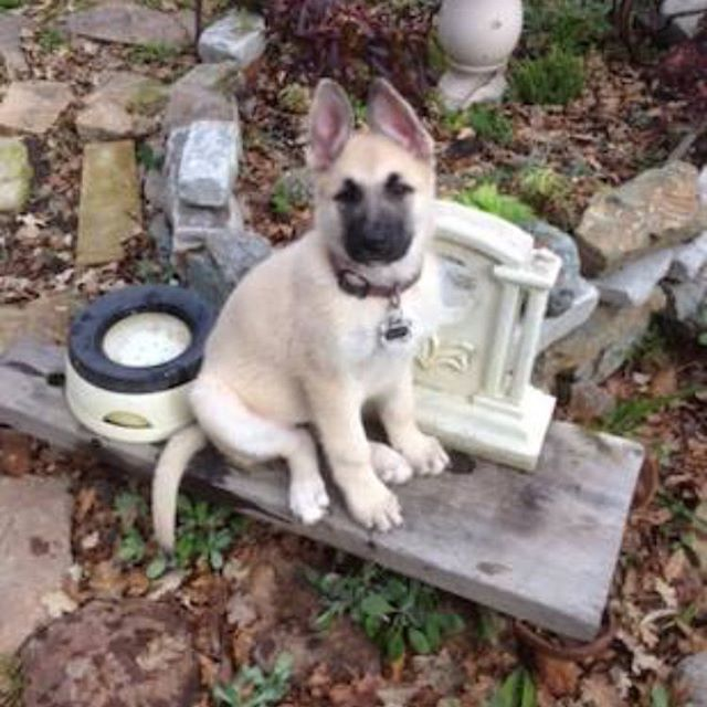 WEBSTA @ bayarea.gsr - Piper is a 9 week old female GSD pup, that is smart, athletic