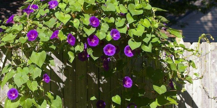 Tanaman Untuk Pagar Rumah Tanaman Desain Bunga Bunga