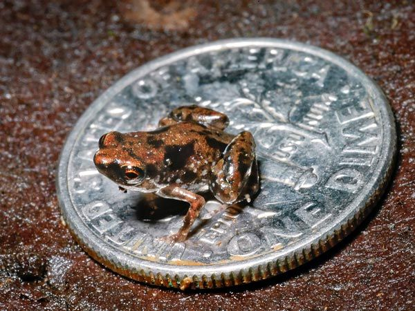 World's smallest frog. The size of an average housefly, this frog is the tiniest known animal with a backbone.