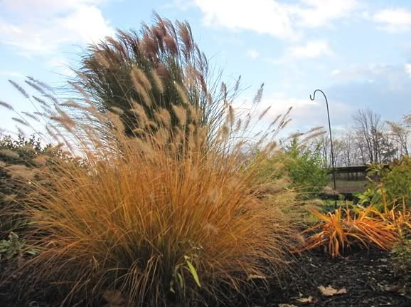 105 best landscaping shrubs images on pinterest flower for Hearty ornamental grasses