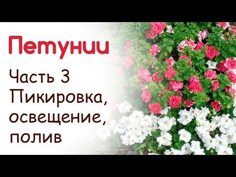 Посадка и выращивание петуний. Уход продолжение (часть 3) - YouTube