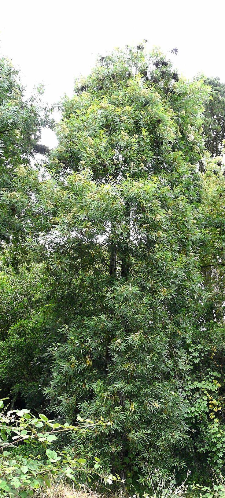 Catalina Ironwood leaves, Lyonothamnus floribundus
