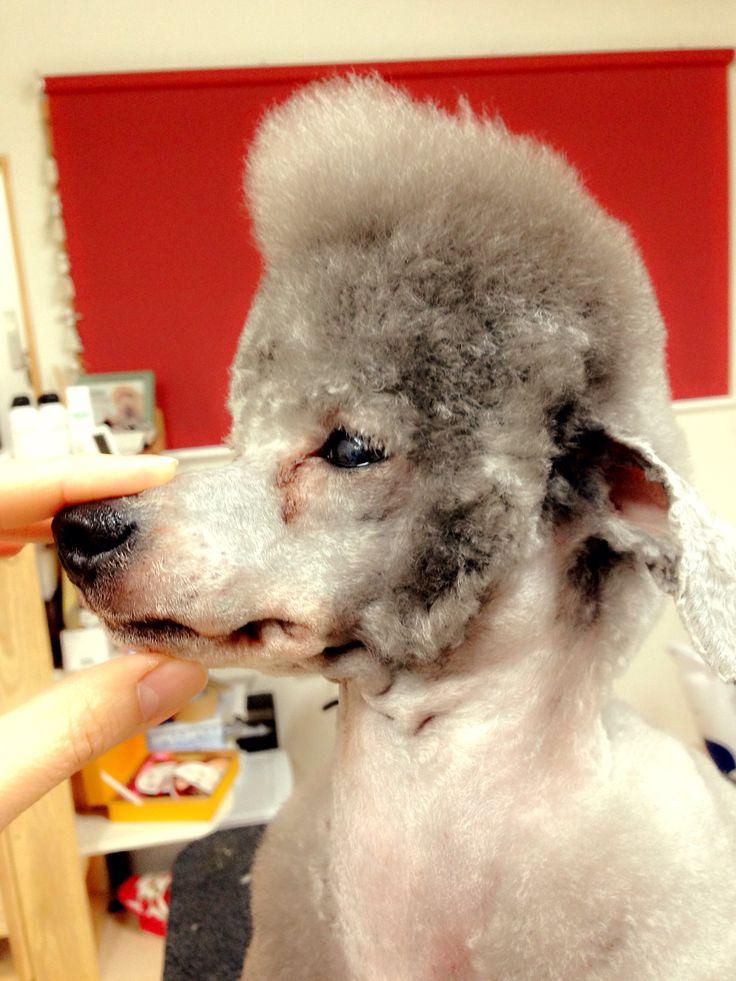 It looks like Elvis Presley;) #Presley #poodle #barboncino    #Sideburns #momiage
