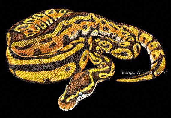 Ball Python Colored Pencil Drawing Animal Drawings Pencil Drawings Colorful Drawings