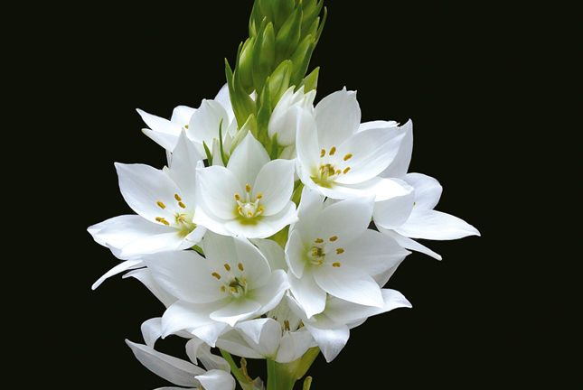 Everything to Know About Star of Bethlehem Flower