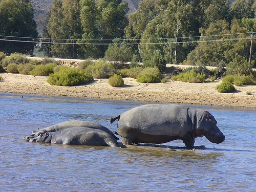 Hippo at Aquila Private Game Reserve. Quote & Book:http://www.south-african-hotels.com/