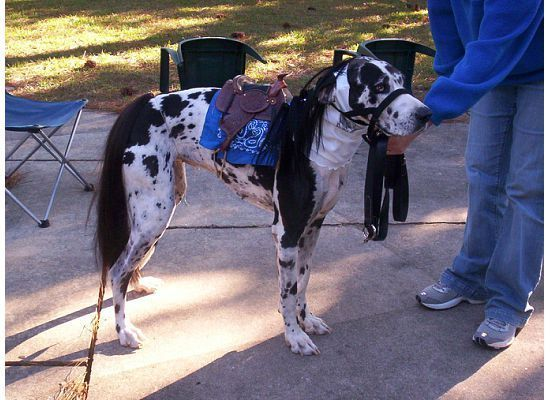Cowboy Great Dane Costume