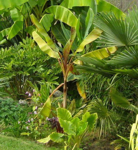 Musa basjoo Une espèce de bananier bien connue, assez facile d'entretien si l'on respecte ses besoins en eau et en fertilisation. Et oui, pour une grosse salade comme celle-là, il faut des apports d'eau en conséquence pour une pousse rapide durant les...