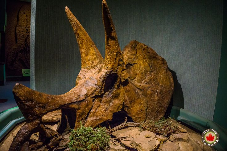 Triceratops skull at the Royal Saskatchewan Museum in Regina.
