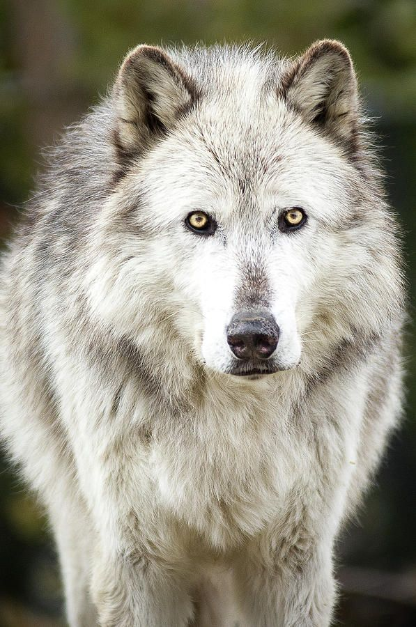 "beautiful-wildlife: ""Lone Grey Wolf by Albert Marquez ""                                                                                                                                                                                 More"