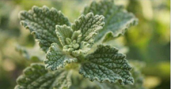 Esta planta é nativa da Europa.Ela pode atingir até 60 centímetros de altura.Possui hastes quadradas e suas folhas são felpudas.As flores são de cor branco-amarelada e crescem em cachos, florescendo no verão.
