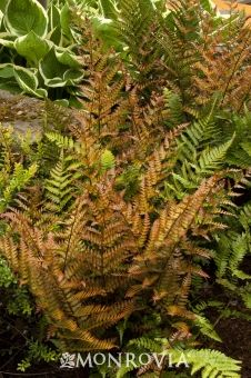 Autumn Fern (Dryopteris erythrosora)--we've planted several of these under the trees in heavy shade. They're growing slowly, but all survived last summer's drought.