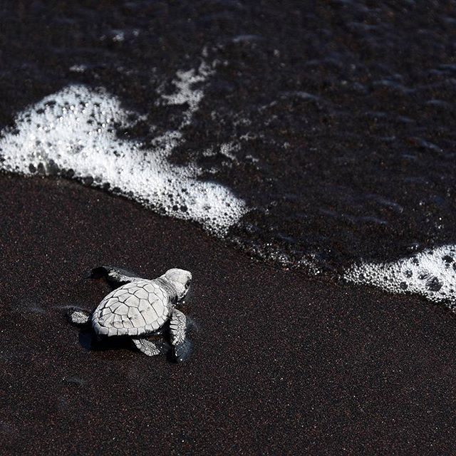 One of 200 black turtle hatchlings, released by the Guatemalan Navy as part of a preservation project, heads for the sea at a closed beach of the Pacific Naval Command in Puerto Quetzal, Guatemala on November 4th 2015. A further 2,500 hatchlings have been released in the last three months. Credit: AFP/Johan Ordonez #blackturtle #turtle #hatchling #beach #Guatemala #Guatemalannavy