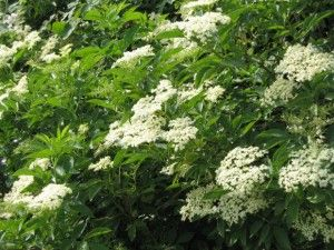 This year I will try making elderflower champange instead of the standard cordial.