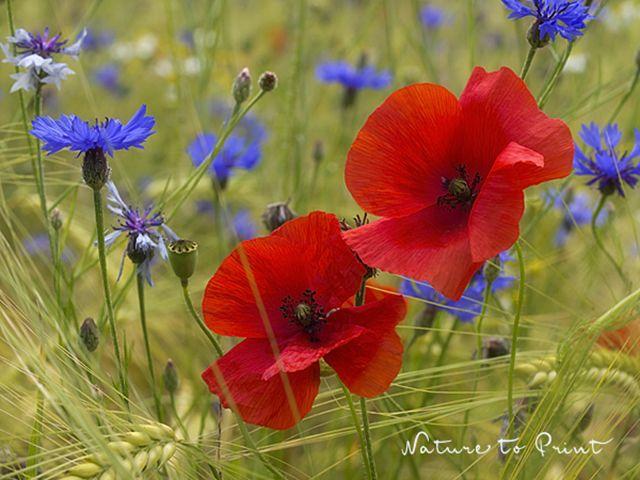 Fotokurs: Blumen fotografieren in freier Natur. Was tun wenn der Diffusor fehlt? Stelldichein mit Mohn & Kornblumen