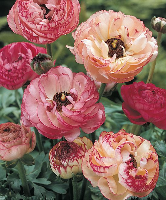 Spring Hill Nursery Buttercups Picotee Bulb & Hand Trowel - Set of 100 | zulily