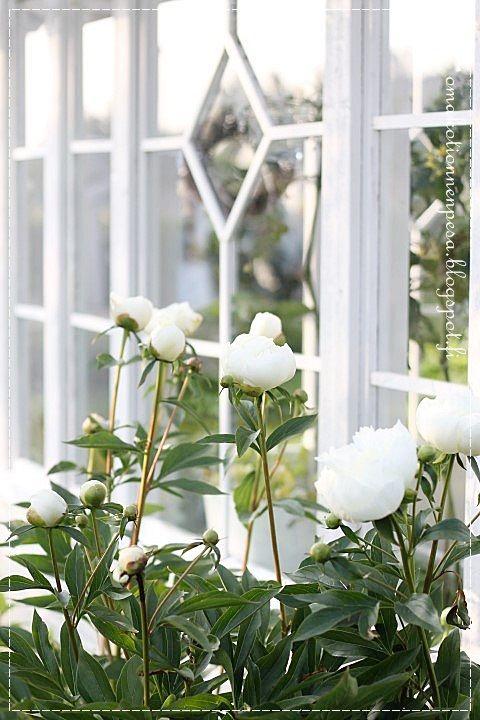 valkoinen pioni, puutarhan kuningatar, kesähuone, vannhat ikkunat