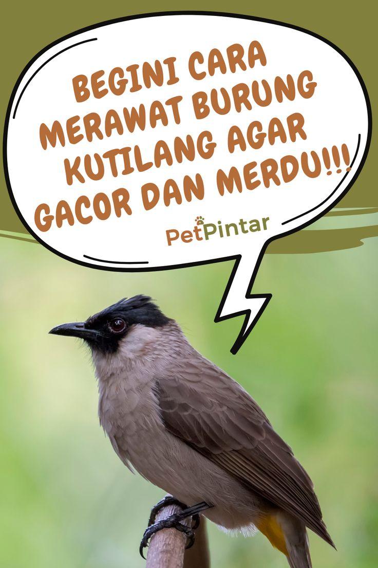 Begini Cara Merawat Burung Kutilang Agar Gacor Dan Ngekek Panjang Burung Makanan Burung Kandang Burung