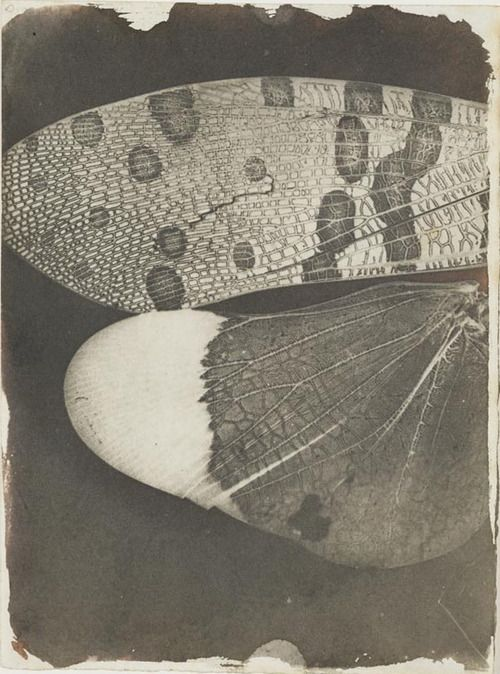 mianoti: William Henry Fox Talbot * Insect wings, as seen under a solar microscope, c.1840