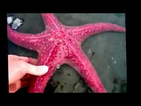 Starfish facts: 11 facts about Sea Stars - YouTube
