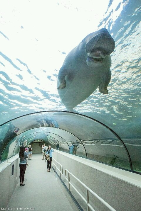 In Sydney, Australia, I went to the most amazing aquarium I've ever visited. The Dugong  exhibit alone was incredible.