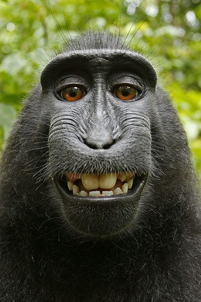 Indonesian monkey takes a selfie using photographer Dave Slater's camera--what next?!