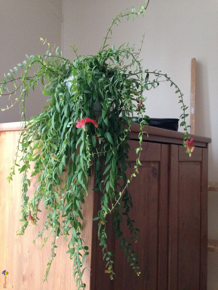 17 meilleures id es propos de plantes retombantes sur for Plante d interieur retombante