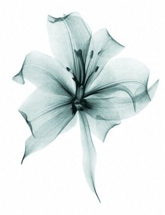 white, flower, x-ray