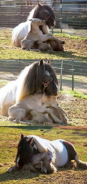 Eine Pferde-Mutter kuschelt mit ihrem Fohlen und entspannt sich in der Sonne. #APASSIONATA