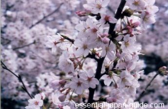 Golden Week Holidays and Golden Week Dates in Japan are right around the corner. Holidays comprising golden week and their respective dates are: Showa Day (Showa no Hi) April 29,  Constitution Memorial Day (Kenpo Kinenbi) May 3, Greenery Day (Midori no Hi) on May 4.