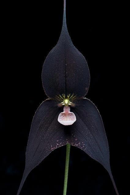 Orchidea * černá