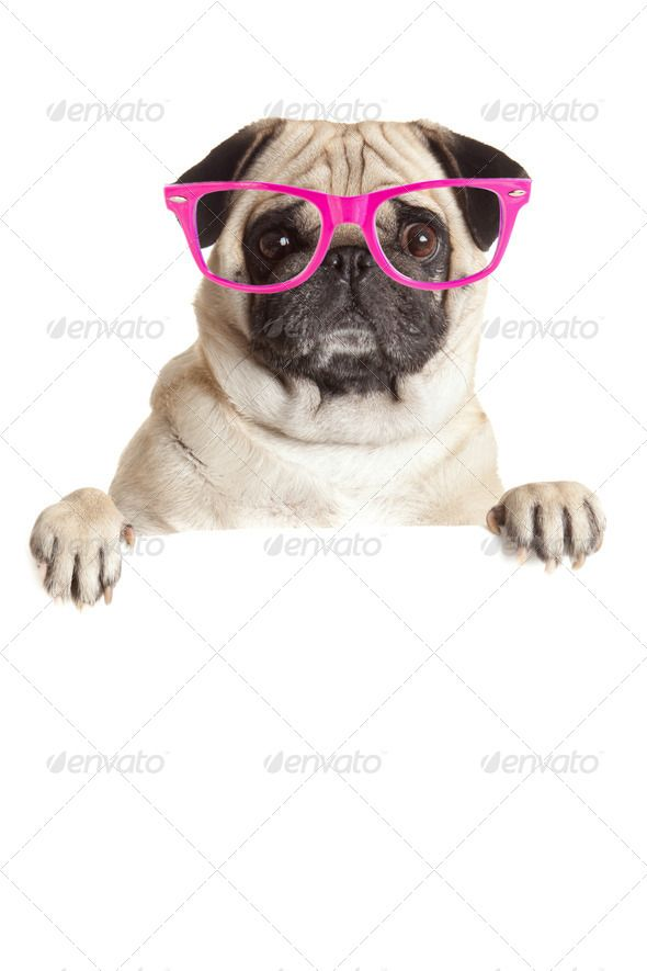 Pug Dog  with blank billboard. Dog above banner or sign. Pug dog ...  above, adorable, animal, banner, behind, blank, cardboard, care, claws, copy-space, copyspace, couple, curiosity, cute, dog, domestic, empty, friendly, friendship, fun, funny, glasses, isolated, look, lovely, mammal, message, paw, placard, playing, portrait, pretty, pug, pug dog, puppy, showing, small, space, tabby, together, togetherness, white, whiteboard, young
