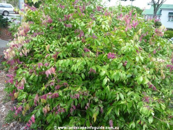 Syzygium cascade lilly pilly google search garden for Lilly pilly shrub
