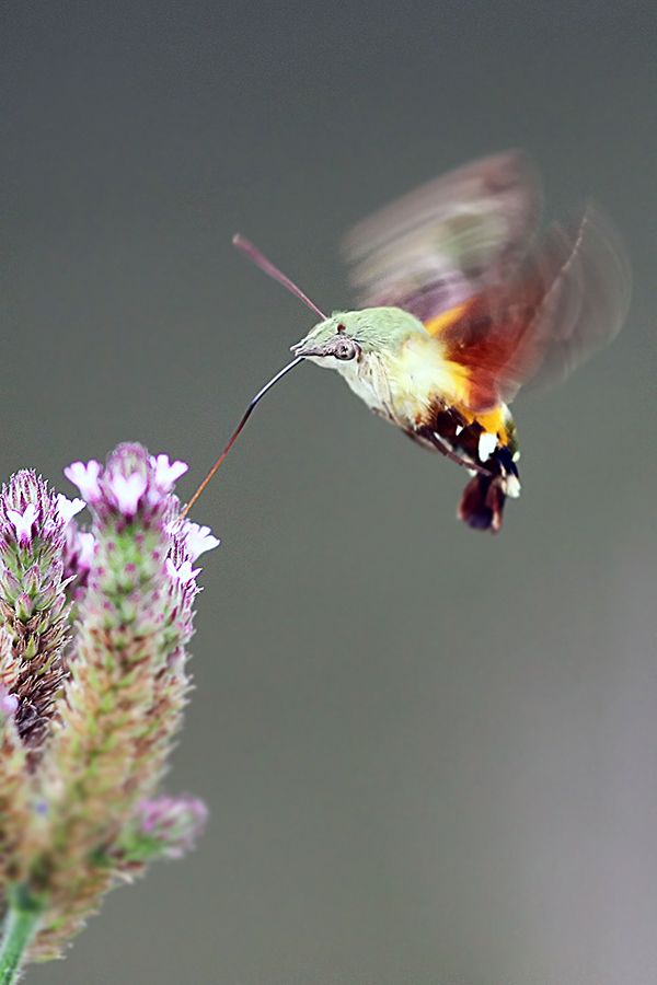 African Hummingbird Moth. I love Hummingbird Moths. If you hold out a flower and they drink from it, it feels like a tiny vibrator in your hand.