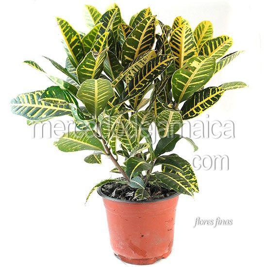 10 best images about plantas de ornato on pinterest for 10 plantas de ornato