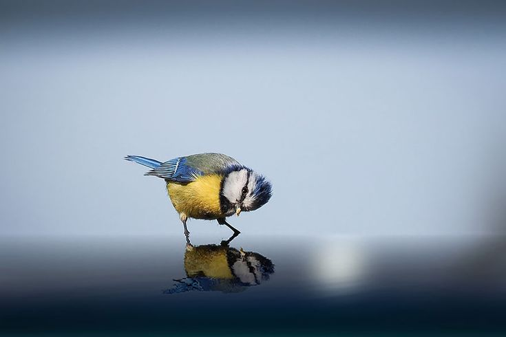 Hi...Who Are You?  -  Blue Tit Looking at it's Reflection in Some Water. Photo by Georg May, Germany   sony-world-photography-awards-entries-2015-15