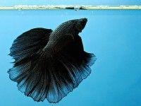 Петушок или сиамская бойцовая рыбка