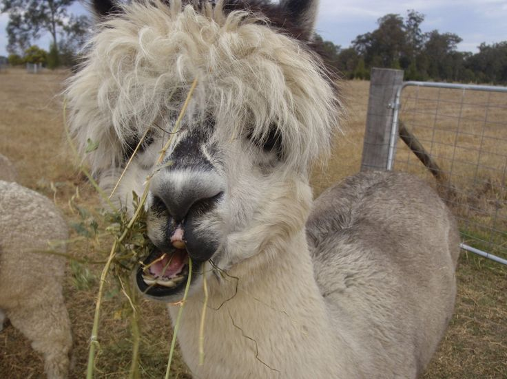 I Think I Have Something Stuck In My Teeth. #alpaca #funny