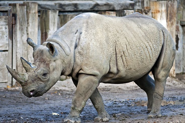 Black rhinoceros (Diceros bicornis)   CRITICALLY ENDANGERED   This two-horned African rhinoceros has suffered more persecution than any other species of rhino.