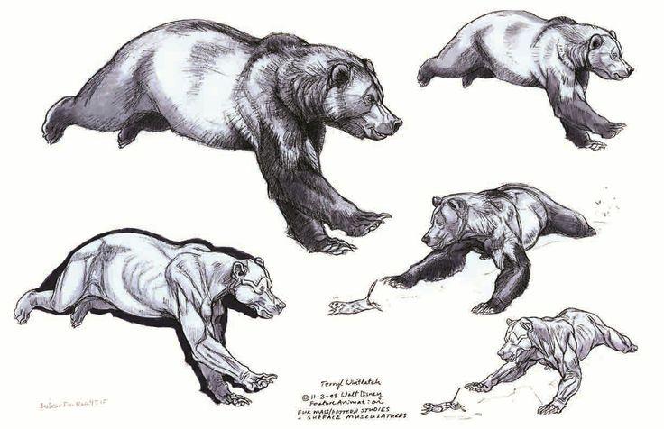 40 besten Anatomy - animal - Ursidae Bilder auf Pinterest ...