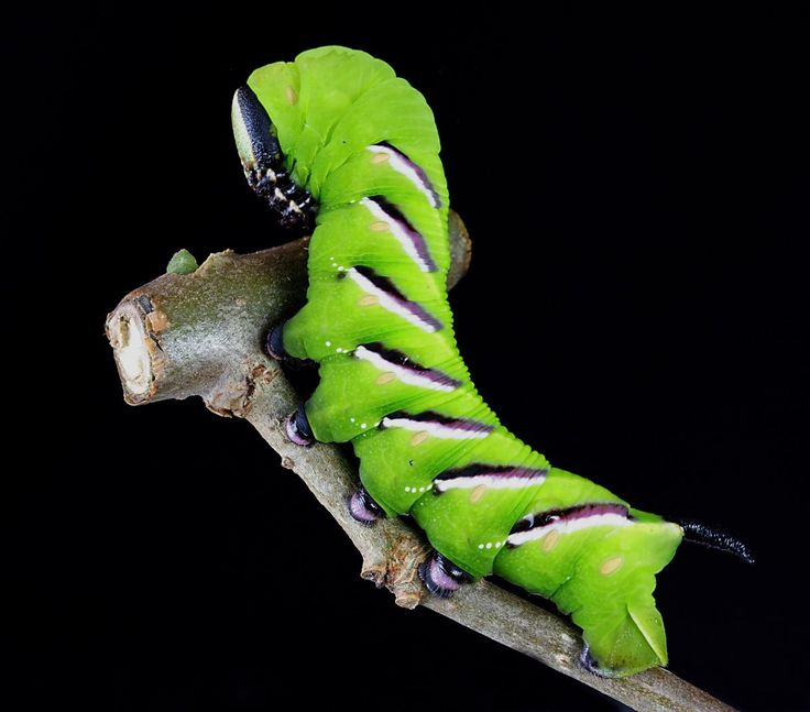 Check out this free photoCamouflage caterpillar green insect    ✅ https://avopix.com/photo/53290-camouflage-caterpillar-green-insect    #mantis #tree frog #leaf #insect #frog #avopix #free #photos #public #domain