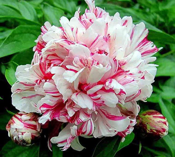 ~Double Peony 'Kirinmaru' (Paeonia lactiflora)