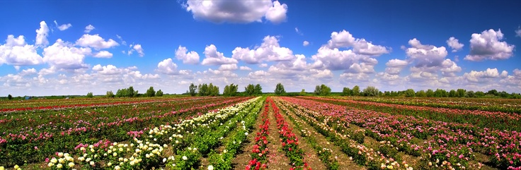 Rose fields, Szőreg