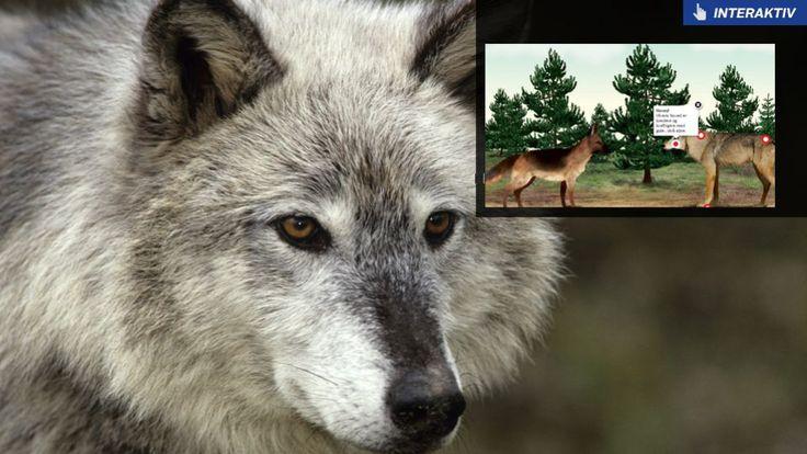 Hvis du møde en ulveflok. Hvis du skulle være så heldig eller uheldig, at møde en eller flere ulve på en skovtur i Kolding eller et andet sted i landet, så er det godt at vide, hvordan man bør opføre sig.  Derfor har vi herunder samlet en række gode råd, der er leveret af Naturstyrelsen og Thomas Secher Jensen, der er tidligere museumsdirektør og nu seniorforsker med speciale i pattedyr ved Naturhistorisk Musem i Aarhus.  Hold øjenkontakten og gå langsomt og stille og roligt baglæns derfra…