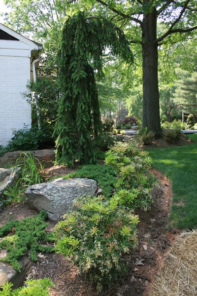 Weeping norway spruce garden trees small landscape for Weeping trees for small gardens