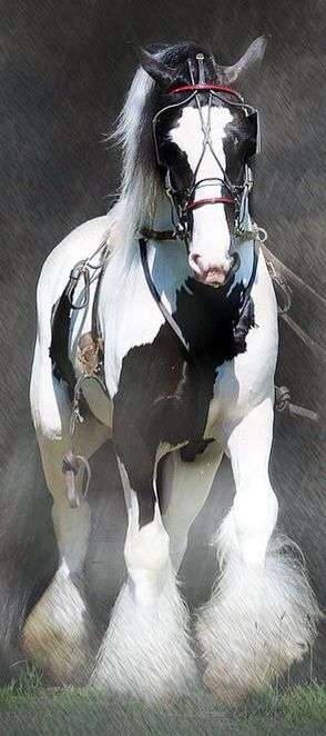 Harness draft carriage horse equine Clydesdale Percheron Shire Hafflinger Gypsy Vanner Cob