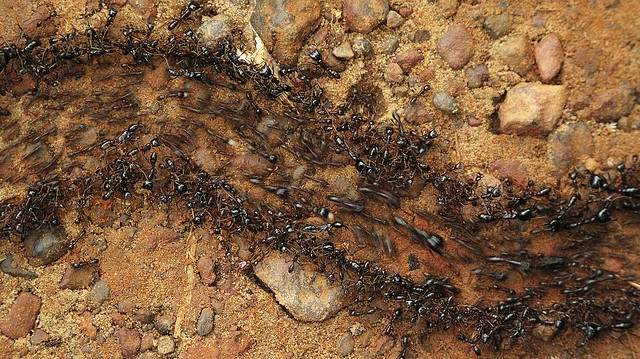 An Army of Ants by Francis Carmine: Rampaging army ants in ... Army Ants Attacking