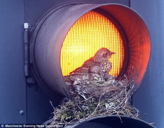A pair of mistle thrushes have set up home in a set of traffic lights in Eccles, England.